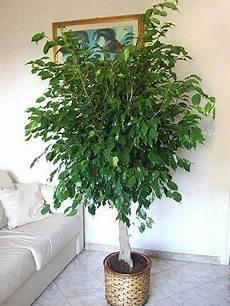 weeping fig ficus benjamina indoor house plant
