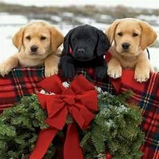l l bean instagram christmas puppy christmas animals christmas dog