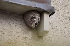 mittel gegen wespen im dach hornissen oder wespen als untermieter