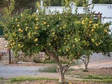 welche zitronenbaum erde ist geeignet erden und umtopftipps