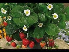 Fraisiers Comment Bien Les Planter Et Les Fertiliser