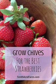 Gardening Strawberries by Grow Chives For The Best Strawberries Companion Planting