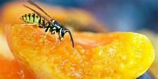 Wespen Vertreiben Hausmittel - wespen zehn hausmittel die wespen wirklich vertreiben