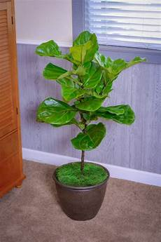 fiddle leaf fig size ficus lyrata plants for sale