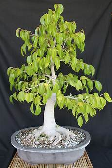 bonsai ficus benjamini ficus bonsai kuromatsubonsai
