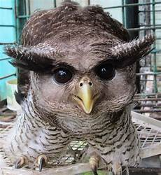Burung Hantu Biak Dilindungi Undang Undang Konservasi Alam