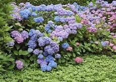 tailler les hortensias photos hortensia planter et tailler ooreka