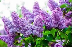 Flieder Syringa Pflanzen Und Pflegen Heimhelden