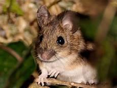 Mäuse Im Haus - waldmaus apodemus sylvaticus kleinsaeuger at