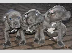 American Pit Bull Terrier hund in Schweiz, American Pit