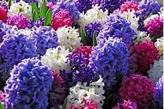 fiori bulbo piante e fiori giacinto hyacinthus