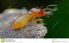 Termite Photo Stock Image Du Live Ennui Termite