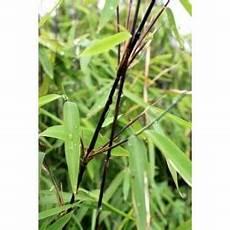 bambou non invasif bambou non tra 231 ant non envahissant et non invasif