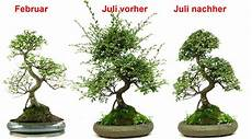 bonsai richtig pflegen bonsai azalee schneiden kg61 casaramonaacademy