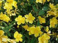 bodendecker gelb winterhart 64 best images about bodendecker on garden