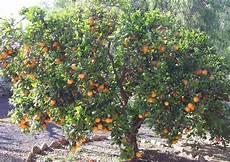 Gambar Pohon Jeruk Limau Berbuah Lebat Gambarmugo
