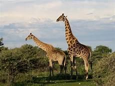 die giraffe forscher entschl 252 sseln genom so kam die giraffe zu ihrem