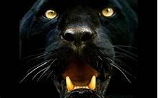 koleksi black panther face wallpaper wallpaper sawah