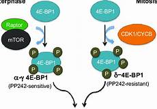 Cap Cycle Diagram by Model For Cell Cycle Dependent 4e Bp1 Regulation Of Cap