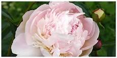tutti i fiori la peonia di tutti i fiori