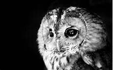 Owl Free Wallpaper