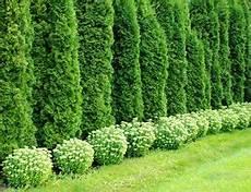 thuja hecke pflanzen thuja hecke mit koniferen thuja hecke garten und thuja baum