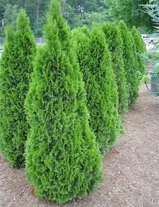 Evergreen Trees Fort Wayne Trees