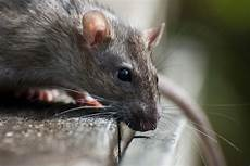 ratten im garten was tun rodent rats and mice in your home