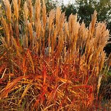 Miscanthus Indian Summer Ornamental Grasses Indian