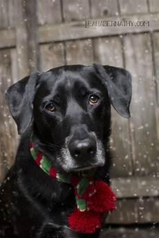 black lab christmas photo holiday dog holiday dogs dogs christmas animals christmas dog