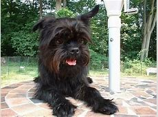 Affenpinscher Dog Breed Information and Pictures