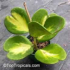 plante hoya kerrii hoya kerrii wax hearts sweetheart hoya hoya