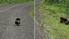 Langka Beruang Mini Atau Wolverine Terlihat Di Pantai