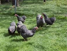 Hühner Im Garten - h 252 hner halten im garten auslauf platzbedarf und schutz