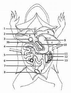 frog anatomy diagram labeled frog anatomy coloring worksheet biology libretexts