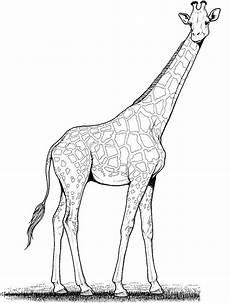 ausmalbilder giraffen zum ausdrucken kostenlos f 252 r