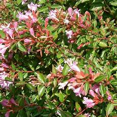 Abelia Grandiflora Edward Goucher Arbuste Compact