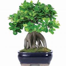 brussel s bonsai ginseng grafted ficus bonsai indoor