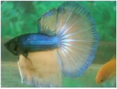 Makanan Ikan Cupang Cepat Bertelur khemem botzsee budidaya ikan cupang