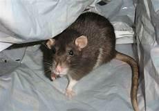 tipps gegen ratten im haus so hat die plage schnell ein