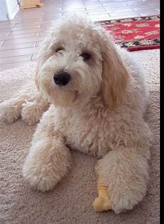 16 new goldendoodle haircut guide pictures meowlogy pin by nancy epright on puppies cute dogs goldendoodle puppy goldendoodle
