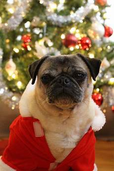 merry christmas from nickie the pug about pug