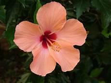 der garten hibiskus oder auch roseneibisch genannt