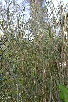Bambus Braune Blätter - bambus im winter bambus wissen