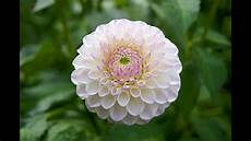 the beauty of dahlia flower for your garden youtube