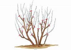 hibiskus schneiden 187 anleitung tipps und tricks mit