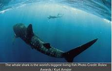 Ikan Terbesar Di Dunia Info Zaman