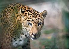 10 roaring facts about jaguars mental floss