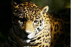 audubon zoo jaguar escapes enclosure kills eight animals in new orleans the washington post