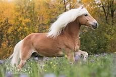 Malvorlage Pferd Und Hund Haflinger Pferdefotografie Hundefotografie Fotografie